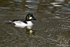 Common Goldeneye ~ Chena River winter ~ Fairbanks, Alaska