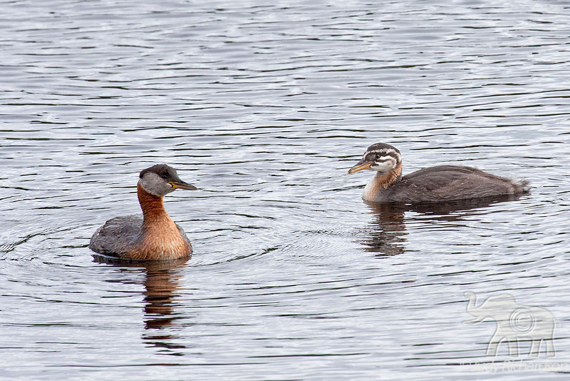 Red-necked Adult Grebe & Chick~ Fairbanks, Alaska