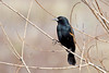 Red-Winged Black Bird ~ Moss Landing, California