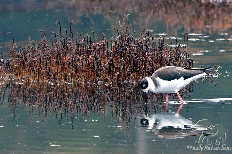 Black-necked Stilt ~ Monterey Area, California