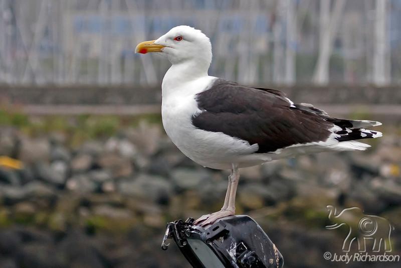Great Black-backed Gull ~ Howth, Ireland