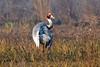 Sarus Crane-India