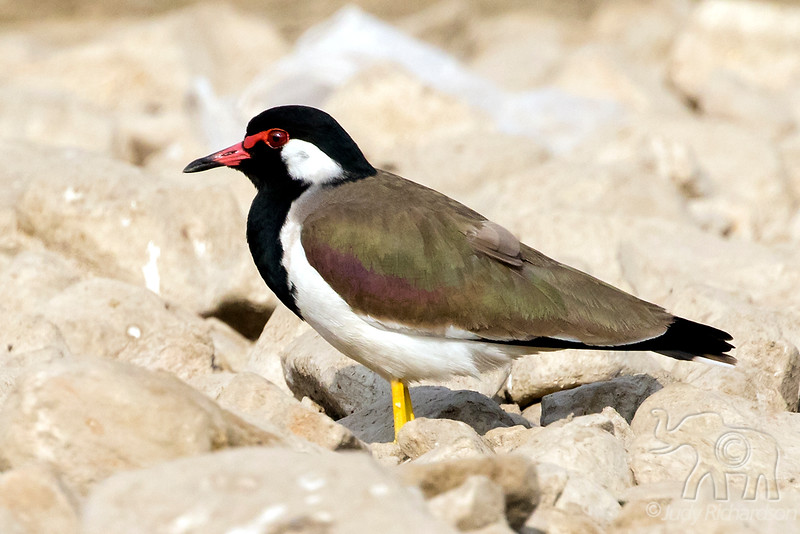Red-wattled Lapwing, India