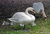 Mute Swans and chicks ~ Stephens Green ~ Dublin, Ireland