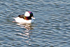 Bufflehead ~ Bolsa Chica Ecological Reserve ~ Huntington Beach, California