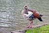 Egyptian Goose ~ Green Park ~ London, England