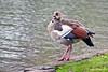 Egyptian Goose ~ Green Park ~ London, England