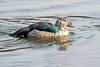 Comb Duck, India