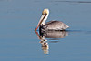 Brown Pelican ~ Balboa ~ Newport Beach, California