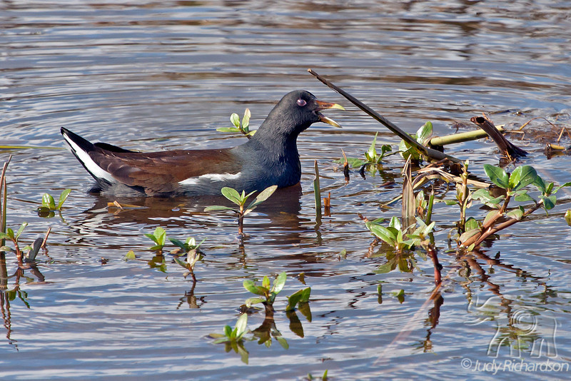 Common Moorhen ~ Savannah National Wildlife Refuge ~ Savannah, Georgia
