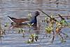 Common Moorhen ~ Savannah National Wildlife Refuge ~ Savannah, Georgia