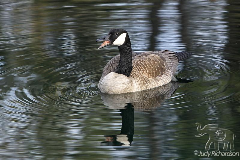 Canada Goose hissing ~ Bend, Oregon