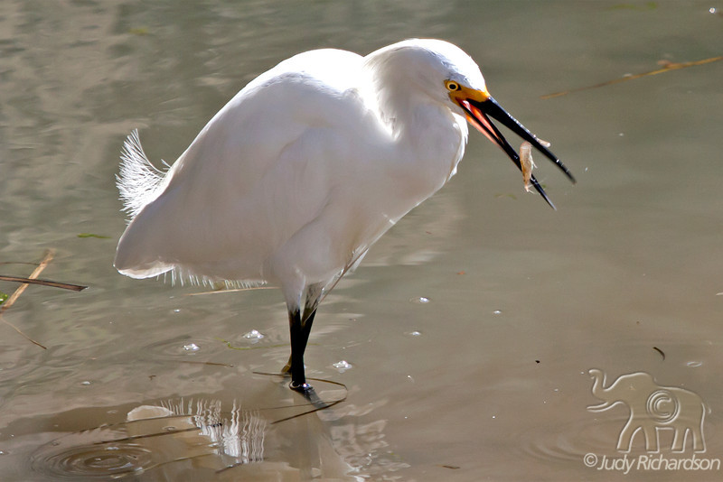 Snowy Heron with shrimp at Bolsa Chica~Huntington Beach, California