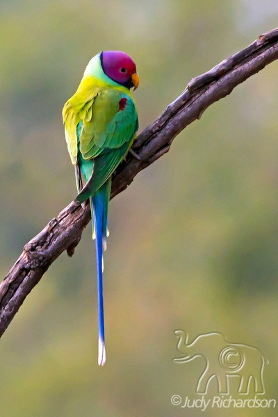 Plum-headed Parakeet, India