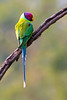 Plum-headed Parakeet, India