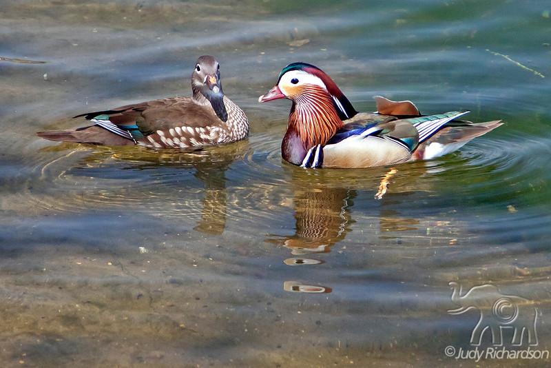 Mandarin Ducks - Female Left, Male Right ~ Kensington Gardens~ London, England