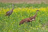 Sandhill Crane ~ Creamer's Field ~ Fairbanks, Alaska