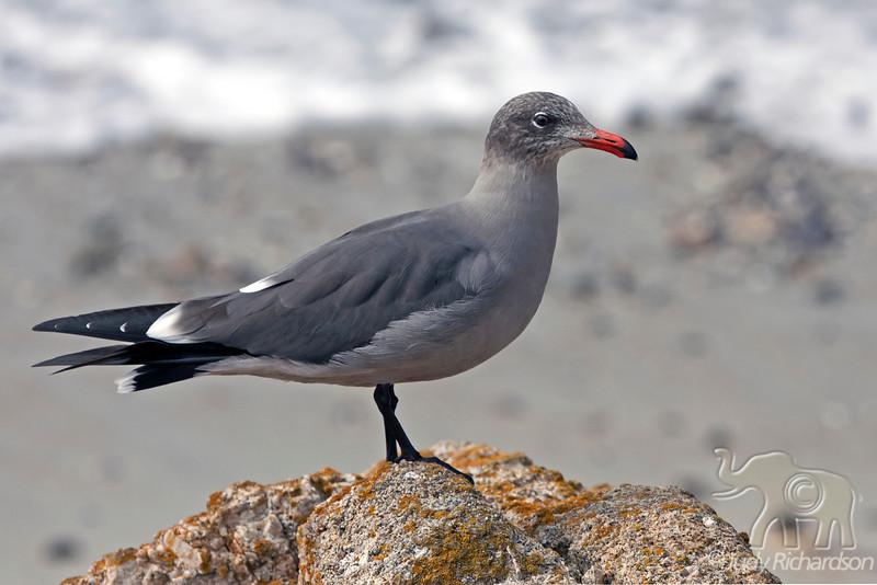 Heermann's Gull ~ Monterey Bay, California