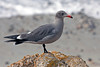 Heermann's Gull ~ Monterey Bay, California