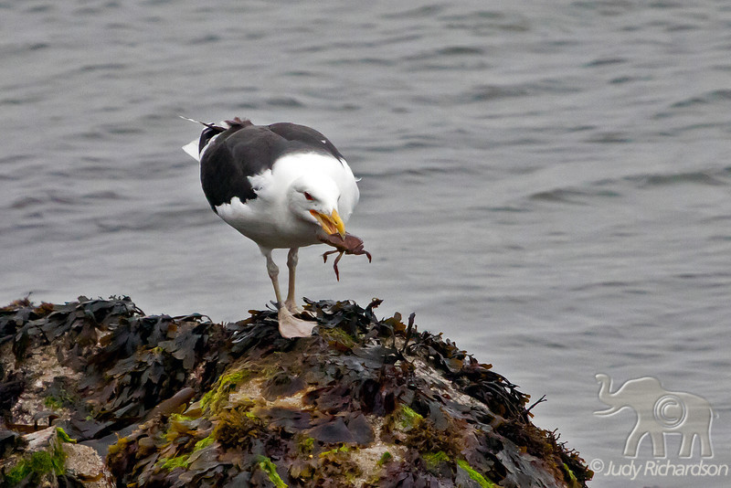 Great Black-backed Gull with crab ~ Howth, Ireland
