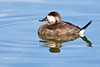 Ruddy Duck ~ Bolsa Chica Ecological Reserve ~ Huntington Beach, California