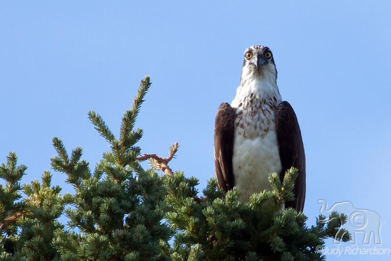 Osprey ~ Healy Lake, Alaska