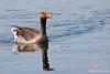Greylag Goose ~ Green Park ~ London, England