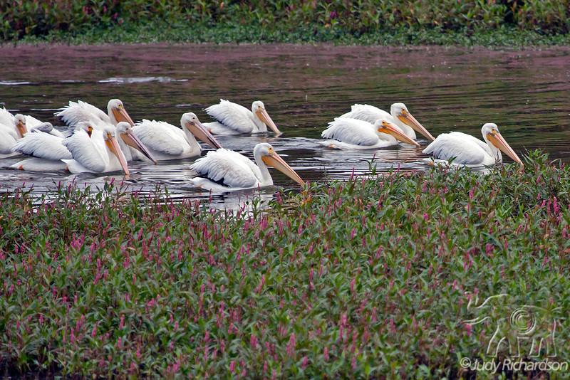 White Pelican ~ Watsonville, California
