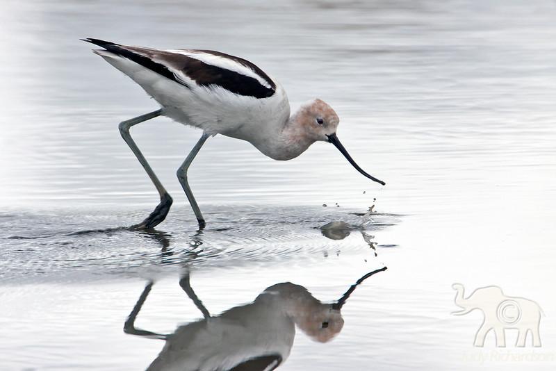 Avocet ~ San Joaquin Wildlife Sanctuary, Irvine, California
