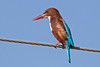 White-throated Kingfisher-India