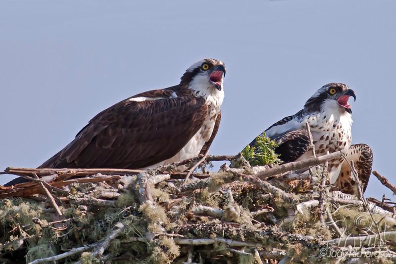Osprey Juveniles in nest ~ Coos Bay, Oregon
