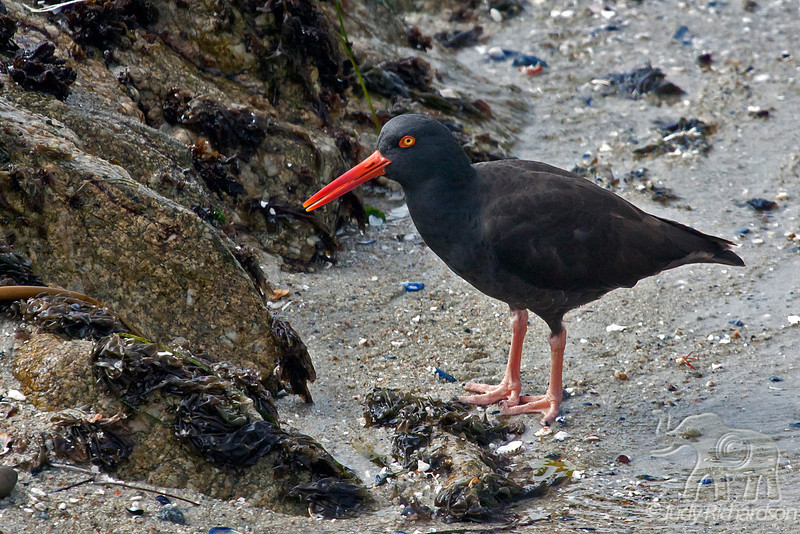 Black Oystercatcher ~ Monterey, California
