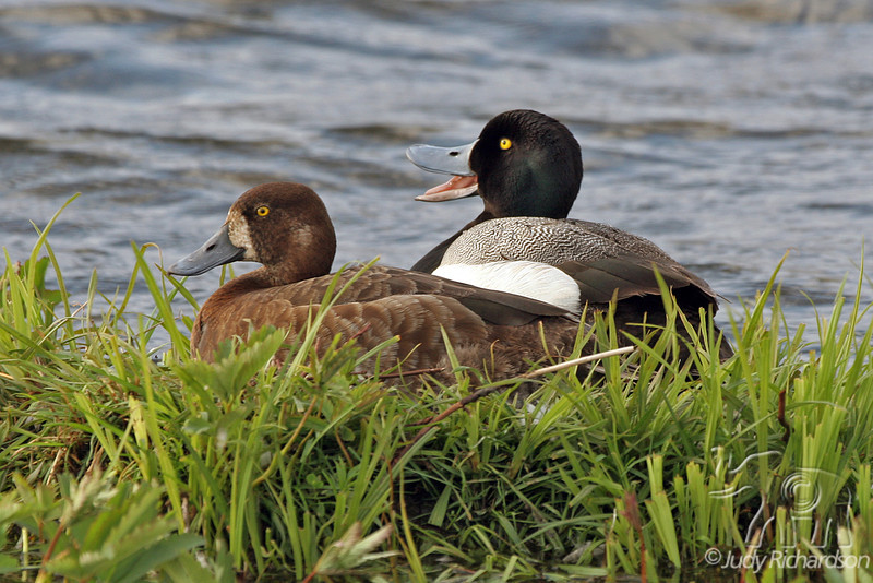 Greater Scaup Male & Female ~ Potter's Marsh ~ Anchorage, Alaska