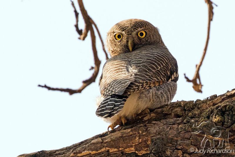 Jungle Owlet, India