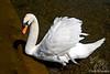 Mute Swan ~ Kensington Gardens ~ London