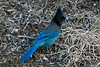 Steller's Jay gathering straw for nest ~ Bend, Oregon