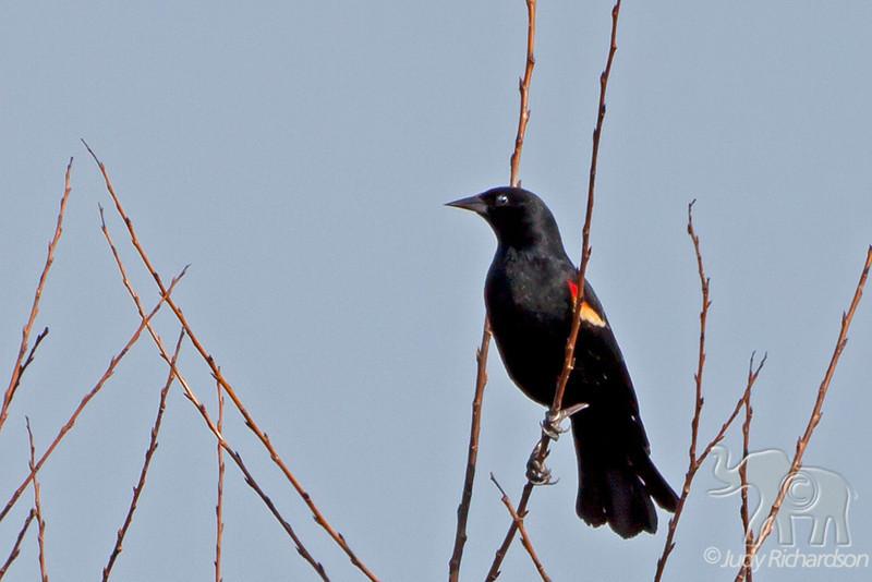 Red-winged Blackbird ~ Savannah National Wildlife Refuge ~ Savannah, Georgia
