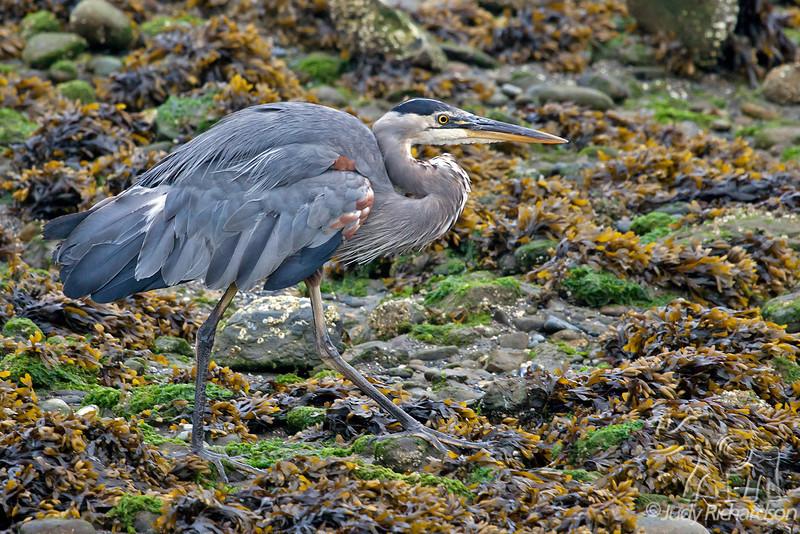 Great Blue Heron on Seaweed ~ Bandon, Oregon