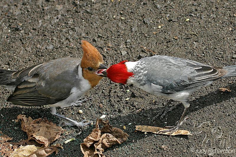 Red-crested Cardinals adult feeding chick ~ Hamakua Wetlands ~ Kailua, Hawai'i