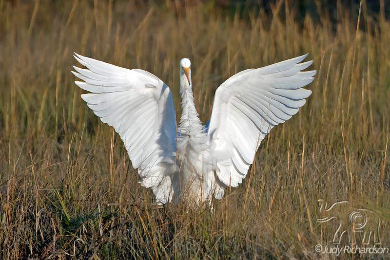 Great Egret ~ Chincoteague, Virginia
