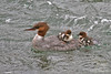 Common Merganser Female with chicks ~ Brooks Falls ~ Katmai, Alaska