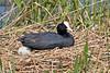 Eurasian Coot on nest ~ Kenington Gardens ~ London, England