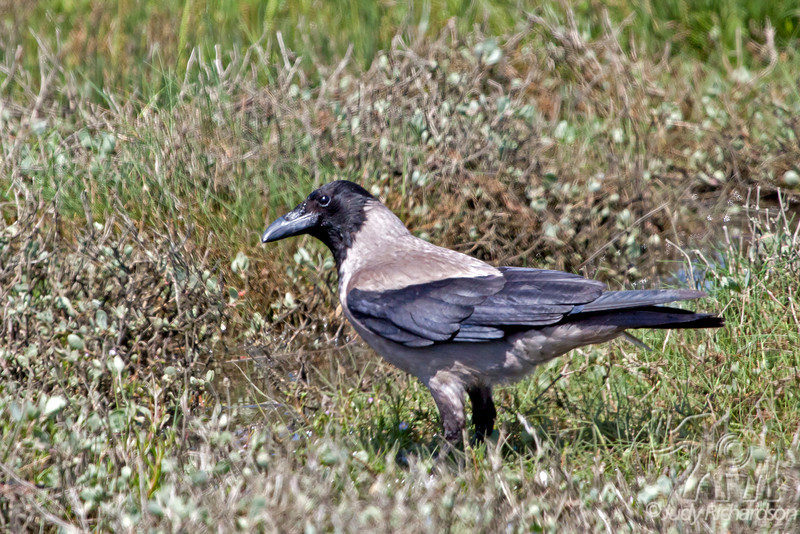 Hooded Crow ~ Bull Island ~ Howth, Ireland