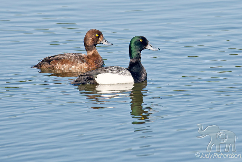 Greater Scaup Male & Female ~ Westchester Lagoon ~ Anchorage, Alaska