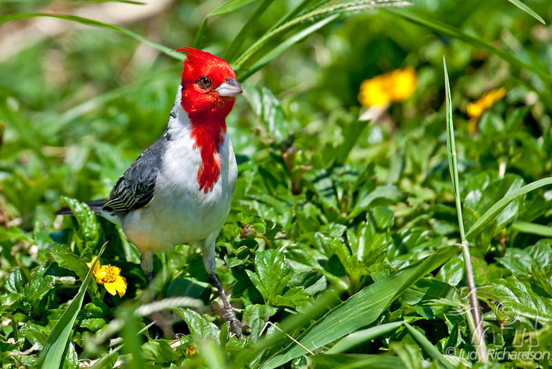 Red-crested Cardinal ~ Hamakua Wetlands ~ Kailua, Hawai'i
