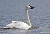 Trumpeter Swan ~ Healy Lake, Alaska