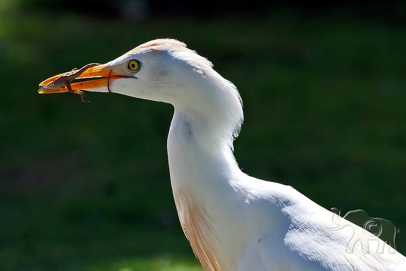 Cattle Egret in breeding plumage with lizard ~ Enchanted Lake ~ Kailua, Hawai'i