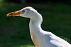Cattle Egret in breeding plumage with lizard ~ Enchanted Lake ~ Kailua, Hawai'i