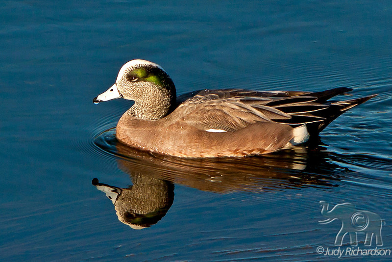 American Wigeon ~ Upper Newport Bay Ecological Reserve ~ Newport Beach, California