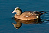 American Wigeon ~ Upper Newport Bay Ecological Reserve ~ Newport Beach, California